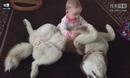 西伯利亚雪橇犬舔萌宝宝